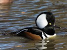 Male Hooded Merganser (Slimbridge October 2012)