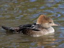 Female Hooded Merganser (Slimbridge October 2012)