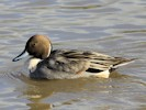 Male Northern Pintail (Slimbridge October 2012)