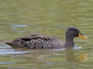 Yellow-Billed Duck (Slimbridge July 2012)