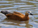 Ruddy Shelduck (Slimbridge July 2012)