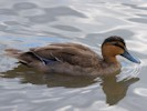 Philippine Duck (Slimbridge July 2012)