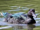 Muscovy Duck (Slimbridge September 2013)