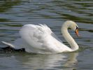 Mute Swan (Slimbridge September 2013)