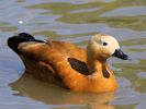 Ruddy Shelduck (Slimbridge September 2013)