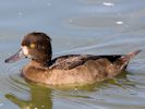 Tufted Duck (WWT Slimbridge September 2013) - pic by Nigel Key