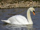 Mute Swan (Slimbridge April 2013)