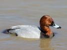 Pochard (WWT Slimbridge April 2013) - pic by Nigel Key