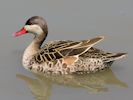 Red-Billed Teal (Slimbridge July 2013)