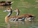 West Indian Whistling Duck (Slimbridge July 2013)