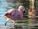 Chilean Flamingo (Slimbridge November 2013)