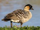 Hawaiian Goose (Slimbridge November 2013)