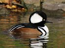 Hooded Merganser (Slimbridge November 2013)