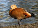 Ruddy Shelduck (Slimbridge November 2013)