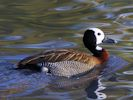 White-Faced Whistling Duck (WWT Slimbridge November 2013) - pic by Nigel Key