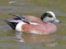 American Wigeon (Slimbridge 25/05/13)