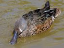 Australian Shoveler (Slimbridge 25/05/13)