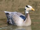 Bar Headed Goose (Slimbridge 25/05/13)