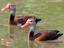 Black Bellied Whistling Duck (Slimbridge 25/05/13)