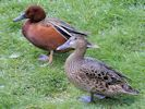 Cinnamon Teal (Slimbridge 25/05/13)