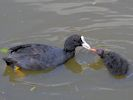 Coot (Slimbridge 25/05/13)