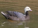 Emperor Goose (Slimbridge 25/05/13)