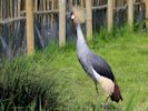 Grey Crowned Crane (Slimbridge 25/05/13)