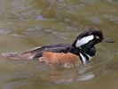 Hooded Merganser (Slimbridge 25/05/13)