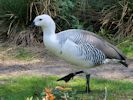 Magellan Goose (Slimbridge 25/05/13)