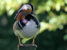 Mandarin (Slimbridge 25/05/13)
