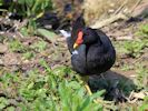 Moorhen (Slimbridge 25/05/13)