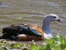 Orinoco Goose (Slimbridge 25/05/13)