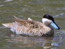Puna Teal (Slimbridge 25/05/13)