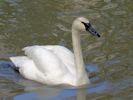 Trumpeter Swan (Slimbridge 25/05/13)