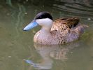 Puna Teal (Slimbridge July 2013)