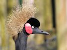 Black-Crowned Crane (Slimbridge March 2014)