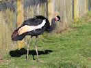 Black Crowned Crane (Slimbridge March 2014)
