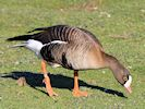 Lesser White-Fronted Goose (Slimbridge March 2014)