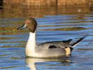Northern Pintail (Slimbridge March 2014)