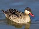 Red-Billed Teal (Slimbridge March 2014)