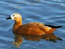 Ruddy Shelduck (Slimbridge March 2014)