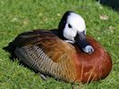 White-Faced Whistling Duck (Slimbridge March 2014)