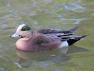 American Wigeon (Slimbridge 17/05/14)
