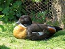 Australian Shelduck (Slimbridge May 2015)