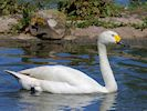 Bewick's Swan (Slimbridge May 2014)