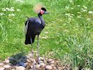 Black Crowned Crane (Slimbridge 17/05/14)