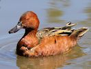 Cinnamon Teal (Slimbridge 17/05/14)