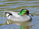 Falcated Duck (Slimbridge 17/05/14)