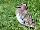 Garganey (Slimbridge May 2014)