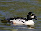Goldeneye (Slimbridge 17/05/14)